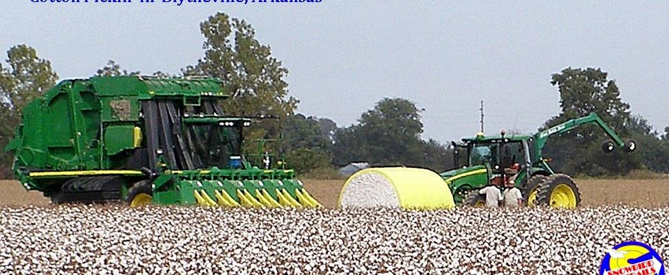 Cotton pickin' in Blytheville. Arkansas