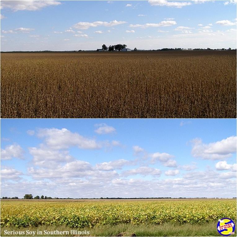 Soybean fields in Southern Illinois